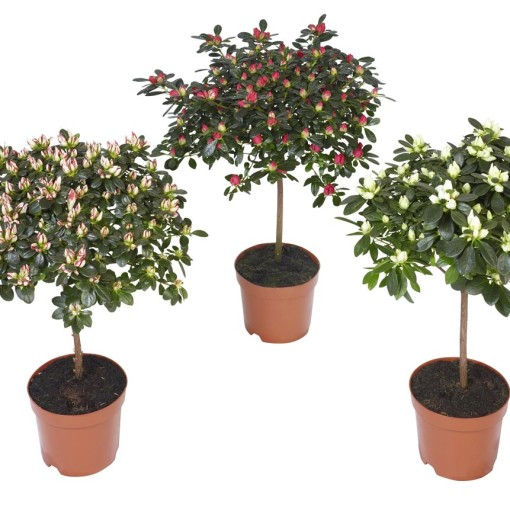 Rhododendron HELLMUT VOGEL MIX (Experts in Green)