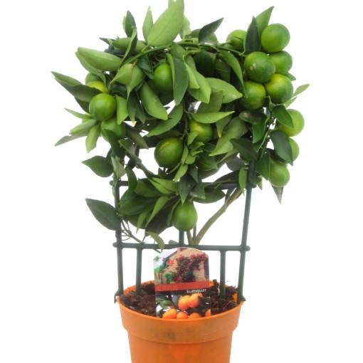 Citrus japonica (Luiten kwekerij)