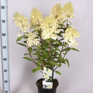 Hydrangea paniculata 'Phantom' (Jesper Mathot Potcultures)