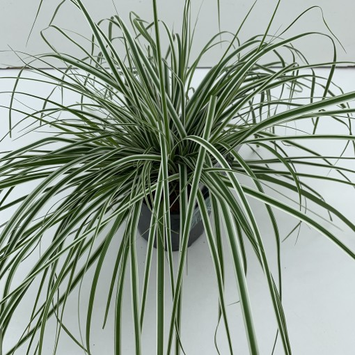Carex oshimensis EVERCOLOR EVEREST (Cammeraat Potcultuur)