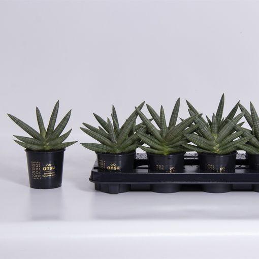 Sansevieria cylindrica 'Tiara Dino Green' (Ansu)