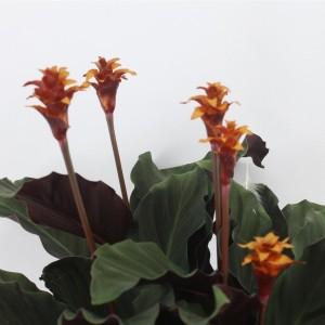 Calathea crocata MARAVIDA (Kwekerij Tass)