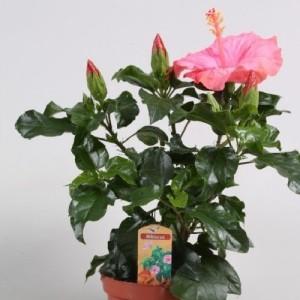 Hibiscus rosa-sinensis SUNNY VENETIE