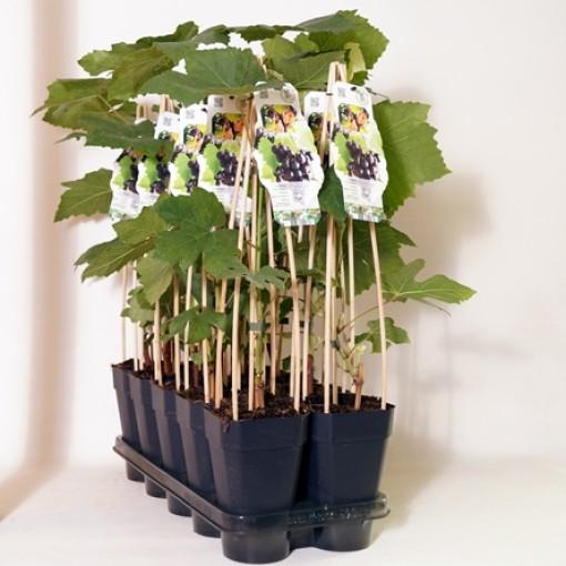 Vitis 'Zilga' (BOGREEN Outdoor Plants)