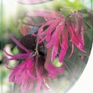 Loropetalum chinense 'Fire Dance' (Dool Botanic)