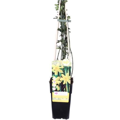 Jasminum nudiflorum (Hoogeveen Plants)