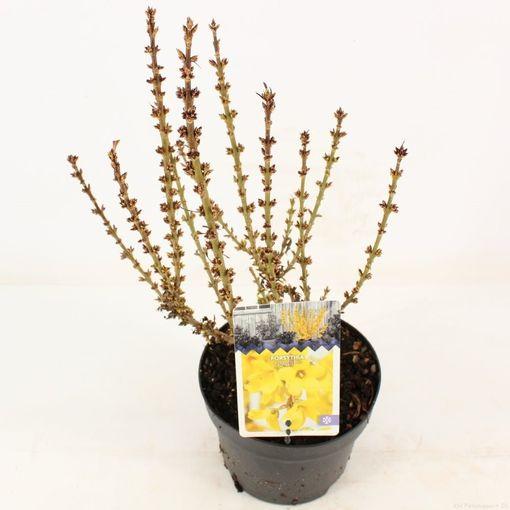 Forsythia x intermedia 'Nimbus' (Snepvangers Tuinplanten BV)