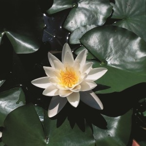 Nymphaea alba (Moerings Waterplanten)