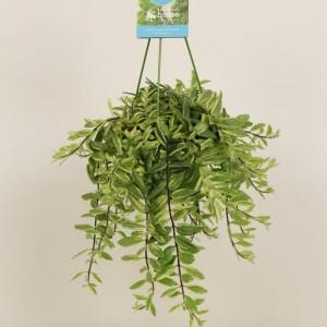 Aeschynanthus 'Bolero Bicolore' (Elstgeest)