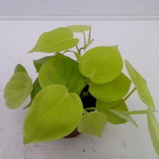 Philodendron scandens 'Lemon Lime' (Gasa DK)