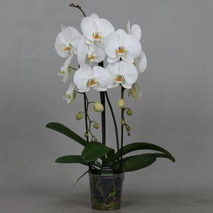 Phalaenopsis WHITE MOON