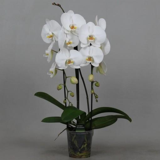 Phalaenopsis WHITE MOON (Leerdam Orchideeën)