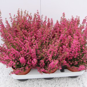 Erica gracilis (Experts in Green)
