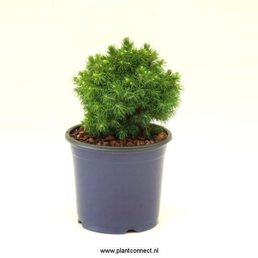 Picea glauca 'Alberta Globe' (Vredebest, Kwekerij)