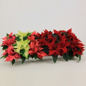 Euphorbia pulcherrima MIX