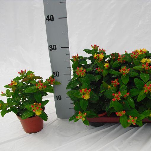 Hypericum androsaemum (Experts in Green)