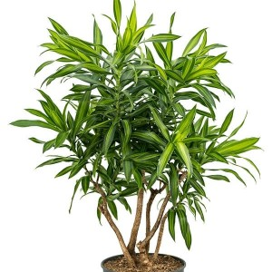 Dracaena reflexa 'Song of Jamaica'