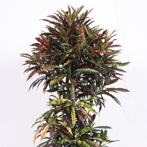 Codiaeum variegatum 'Batik' (Fachjan)