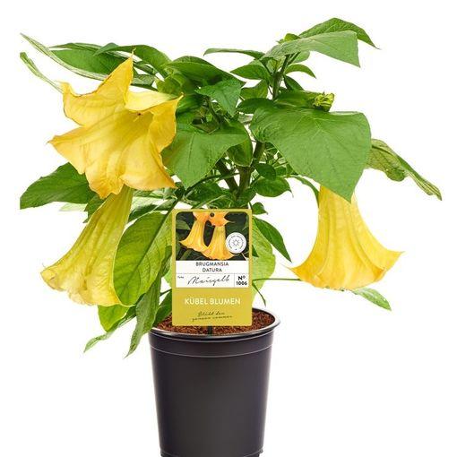 Brugmansia suaveolens (Experts in Green)