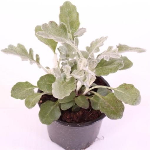 Senecio cineraria (Experts in Green)
