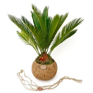 Cycas revoluta (Kokodama)