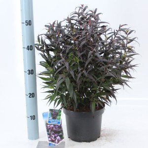 Strobilanthes anisophylla BRUNETTHY