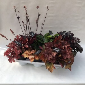Heuchera CARNIVAL MIX (Liesvelden Kwekerij)
