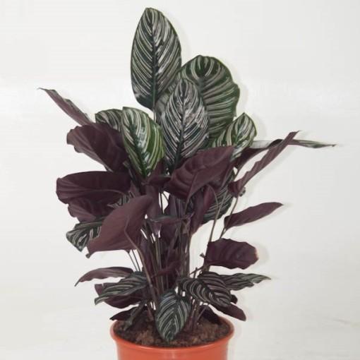 Calathea ornata (Ammerlaan, The Green Innovater)