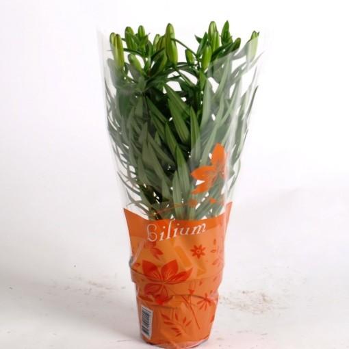 Lilium 'Orange Matrix' (Joyplant)