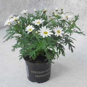 Chrysanthemum frutescens (Gasa DK)