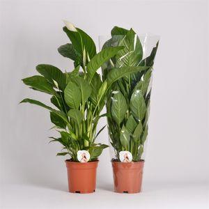 Spathiphyllum 'Vivaldi'