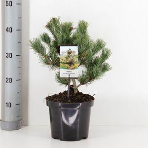 Pinus parviflora 'Negishi' (Bremmer Boomkwekerijen)