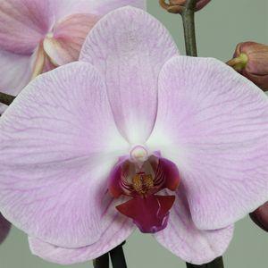 Phalaenopsis ANTHURA SACRAMENTO