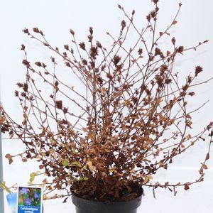 Ceratostigma griffithii (About Plants Zundert BV)