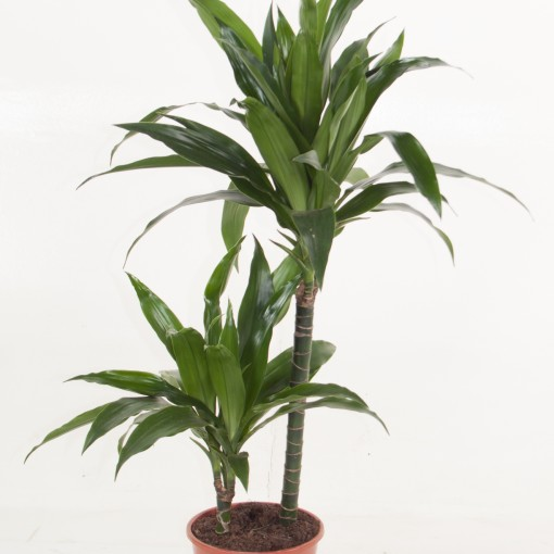 Dracaena fragrans 'Janet Craig' (Ammerlaan, The Green Innovater)