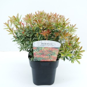 Pieris japonica 'Little Heath' (Hooftman boomkwekerij)