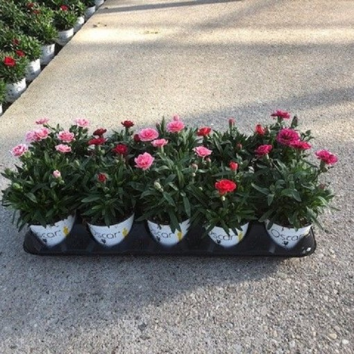 Dianthus OSCAR MIX (Experts in Green)
