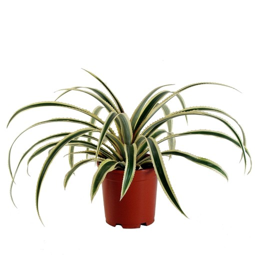 Ananas comosus 'Variegatus' (Ammerlaan, The Green Innovater)