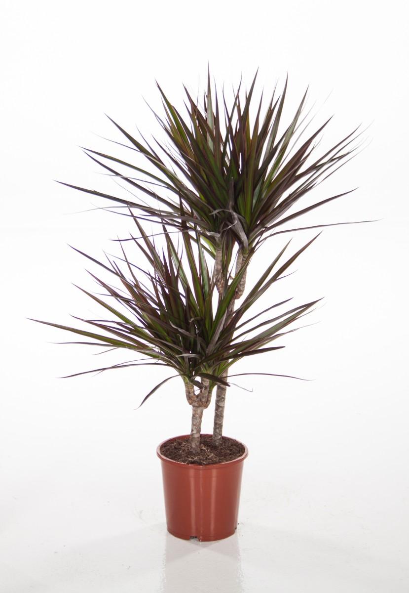 Dracaena marginata 39 magenta 39 p17cm h70cm floraccess for Dracaena marginata