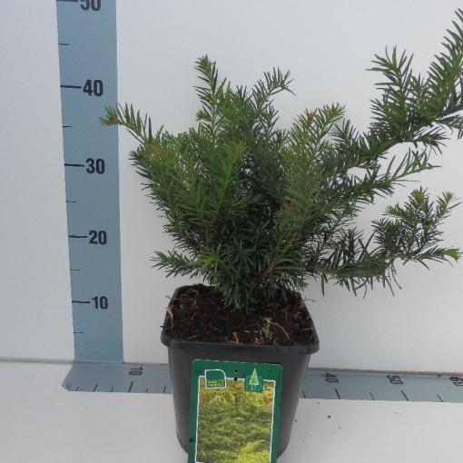 Taxus baccata 'Repandens' (Koekoek Potcultures, de)