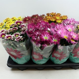 Chrysanthemum MIX