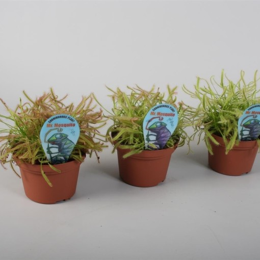 Drosera MIX (Stricker Plants)