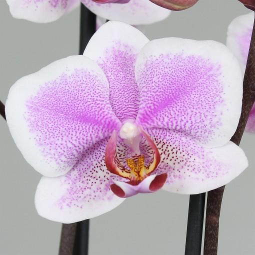Phalaenopsis ANTHURA AMSTERDAM (Leerdam Orchideeën)
