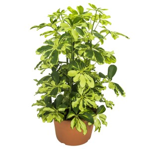 Schefflera arboricola 'Charlotte'