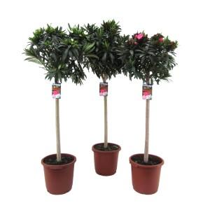 Nerium oleander (Luiten kwekerij)