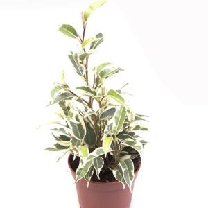 Ficus benjamina 'Samantha'