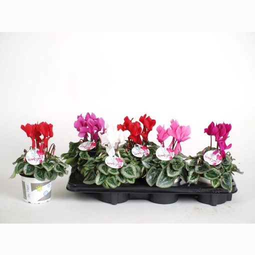 Cyclamen persicum SUPER SERIE REMBRANDT MIX (Joy Plant)