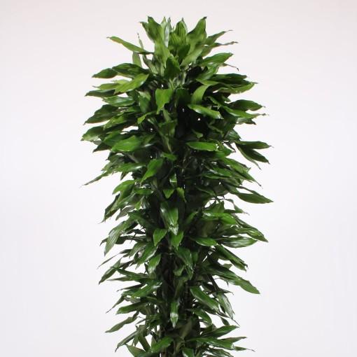 Dracaena fragrans 'Janet Lind' (Fachjan)