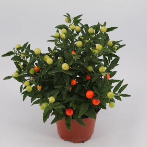Solanum pseudocapsicum 'Jupiter' (Knaap, Kwekerij Jan van der)