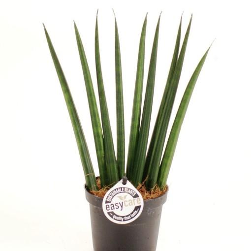 Sansevieria cylindrica 'Fan' (Feldborg A/S)